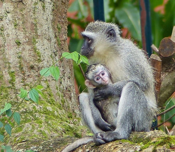 Monkey mom snatches a second baby: A photo essay on how the story unfolds in my suburban garden