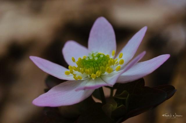 rue anemone